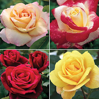 Customer Favorites Rose Collection