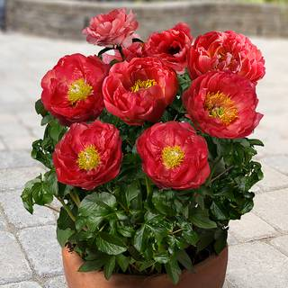Paeonia 'Moscow'®