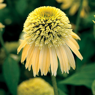 Double Scoop™ Lemon Cream Coneflower