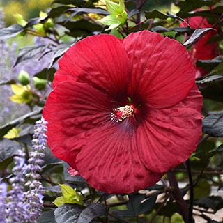 Hibiscus Summerific® Holy Grail Image