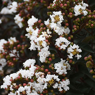 Lagerstroemia 'Like a Latte'
