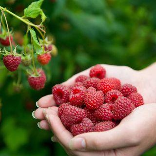 Rubus 'Joan J' Image