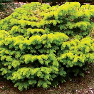 Abies 'Golden Spreader'