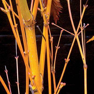 Acer 'Bihou' Image