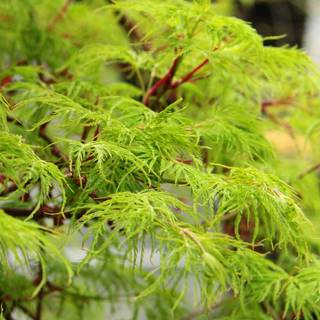 Acer 'Emerald Lace'