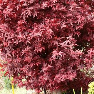 Acer 'Twombly's Red Sentinel'