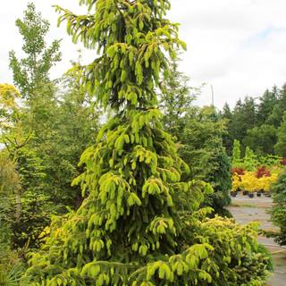Picea 'Aurea Jakobsen' Image