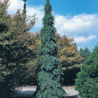 Picea 'Pendula' Image