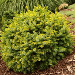 Picea 'Peve Tijn'