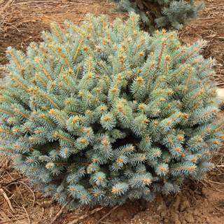 Picea 'Globosa'