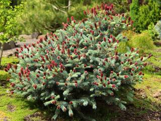 Picea 'Ruby Teardrops'