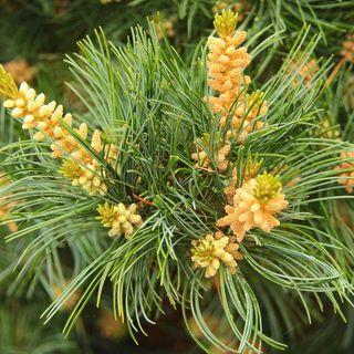 Pinus 'Negishi'