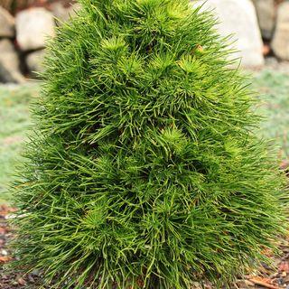 Pinus 'Green Penguin' Image