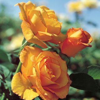 Sundance Grandiflora Rose Image
