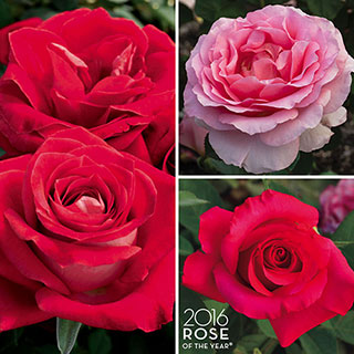 J&P Rose of the Year® Collection