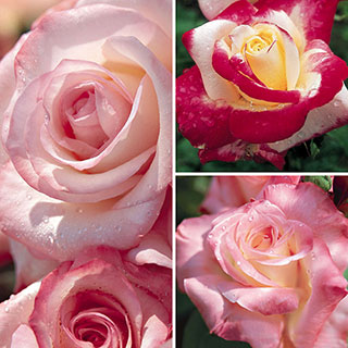 Elegant Rose Collection