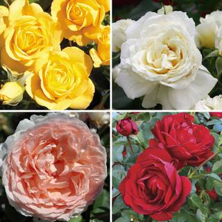 Hot & Humid Rose Collection
