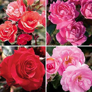 Knock Out® Landscape Rose Collection