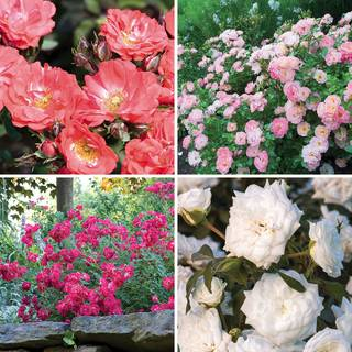 Drift® Groundcover Rose Collection
