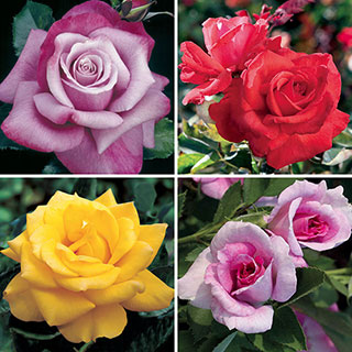 Celebrity Rose Collection