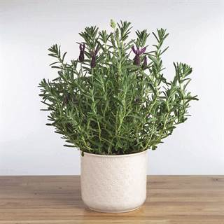 Lavender Gift Plant