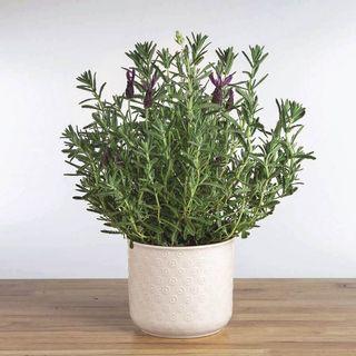 Lavender Gift Plant Image