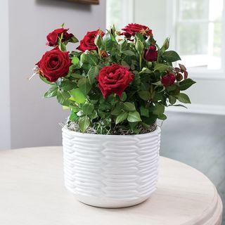 Ravishing Miniature Red Rose Gift
