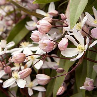 Apple Blossom Clematis