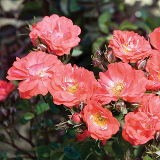 foto de Groundcover Roses: Hardy low maintenance brilliant blooms Jackson & Perkins