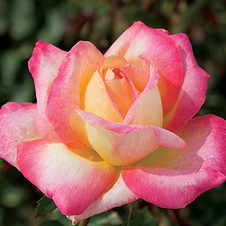 Love And Peace™ Rose
