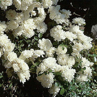 'Sea Foam' Shrub Rose