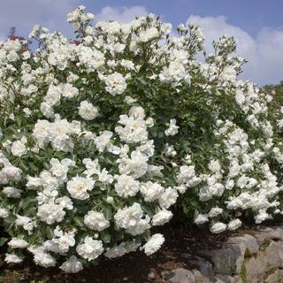 White Meidiland® Rose