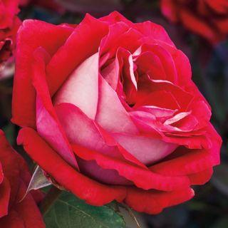 Grateful Heart® Hybrid Tea Rose Image