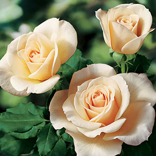 French Lace™ Floribunda Rose