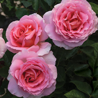 Dr. Jane Goodall 36-inch Tree Rose