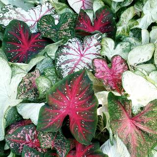 Caladium 'Sun Tolerant Mix'