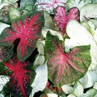 Sun-Tolerant Mixed Caladium Bulbs - Pack of 5
