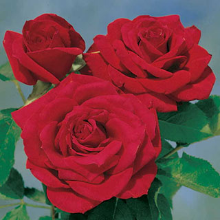 Chrysler Imperial Hybrid Tea Rose Image