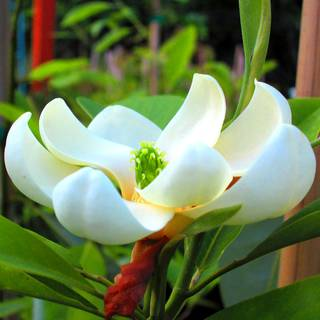 Magnolia Moonglow®