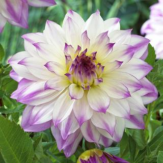 Dahlia 'Ferncliff Inspiration'