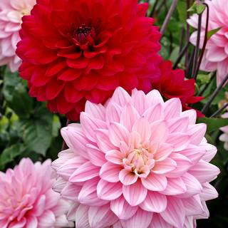 Dahlia Naomi® and Prospero® Mix Image