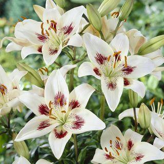Lilium Asiatic 'Centerfold'