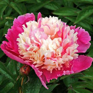 Paeonia 'Cora Stubbs' Image