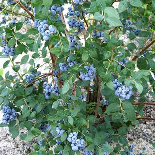 Vaccinium 'Sweetheart' Blueberry Image