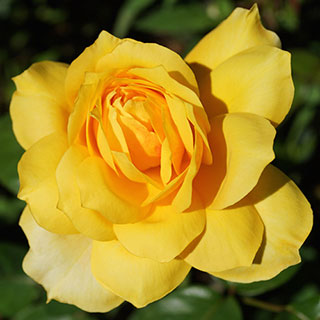 'Gold Glow' Hybrid Tea Rose