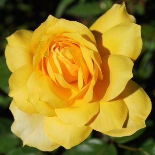 'Gold Glow' Hybrid Tea Rose