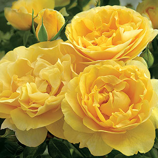 Happy Go Lucky Grandiflora Rose