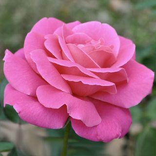 'Pink Peace' Hybrid Tea Rose