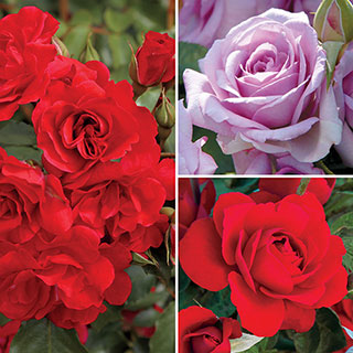 Romantic Rose Collection