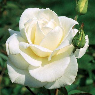 'John F. Kennedy' Hybrid Tea Rose